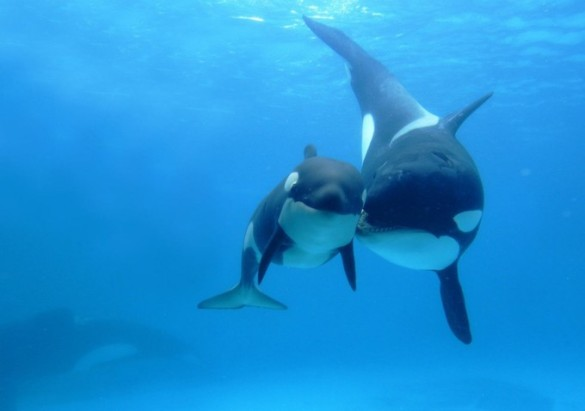 Movie Review: Blackfish is a gripping and powerful documentary